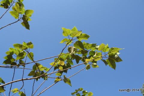 Pohon Po Sa di Laos
